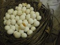 numbered budgie eggs, handmade nest, indigo eli, 2013