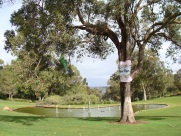 Poet Tree, Kings Park Spring Festival